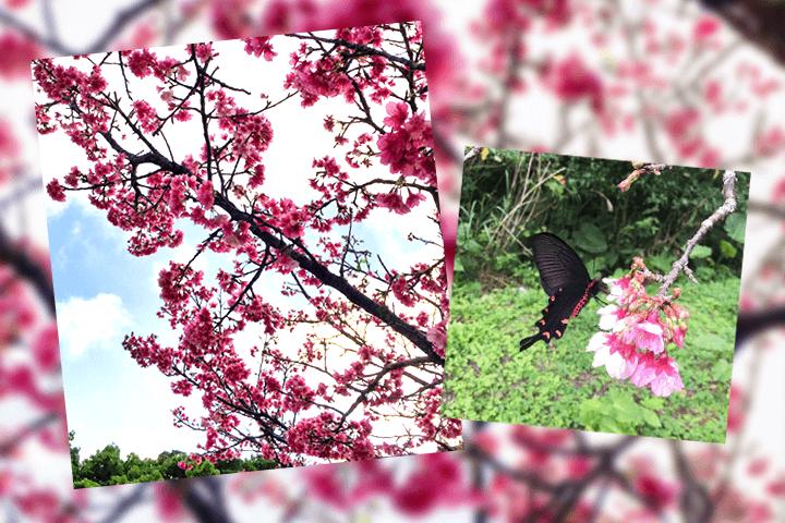 ミロソフィア沖縄 桜