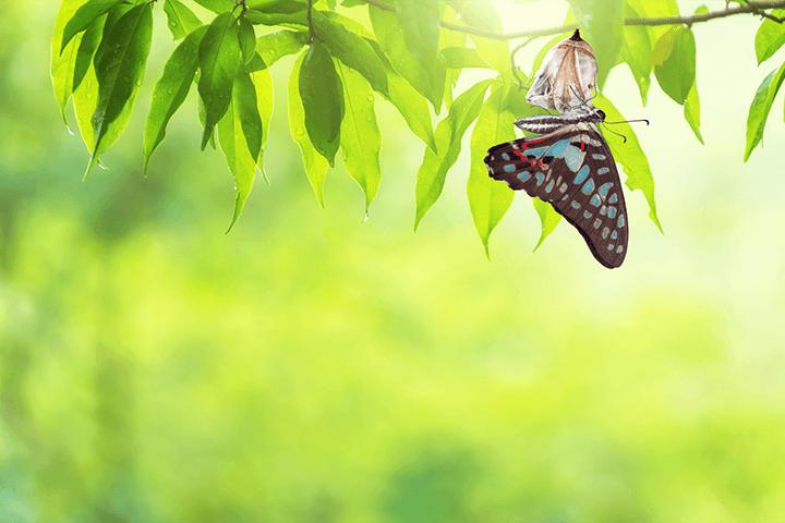 脱皮したアゲハ蝶